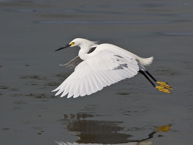 A snowy egret is flying low over a body of water.