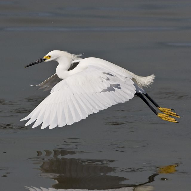 A snowy egret in flight. A large white bird with a wide wingspan and narrow head flows low over a body of water.