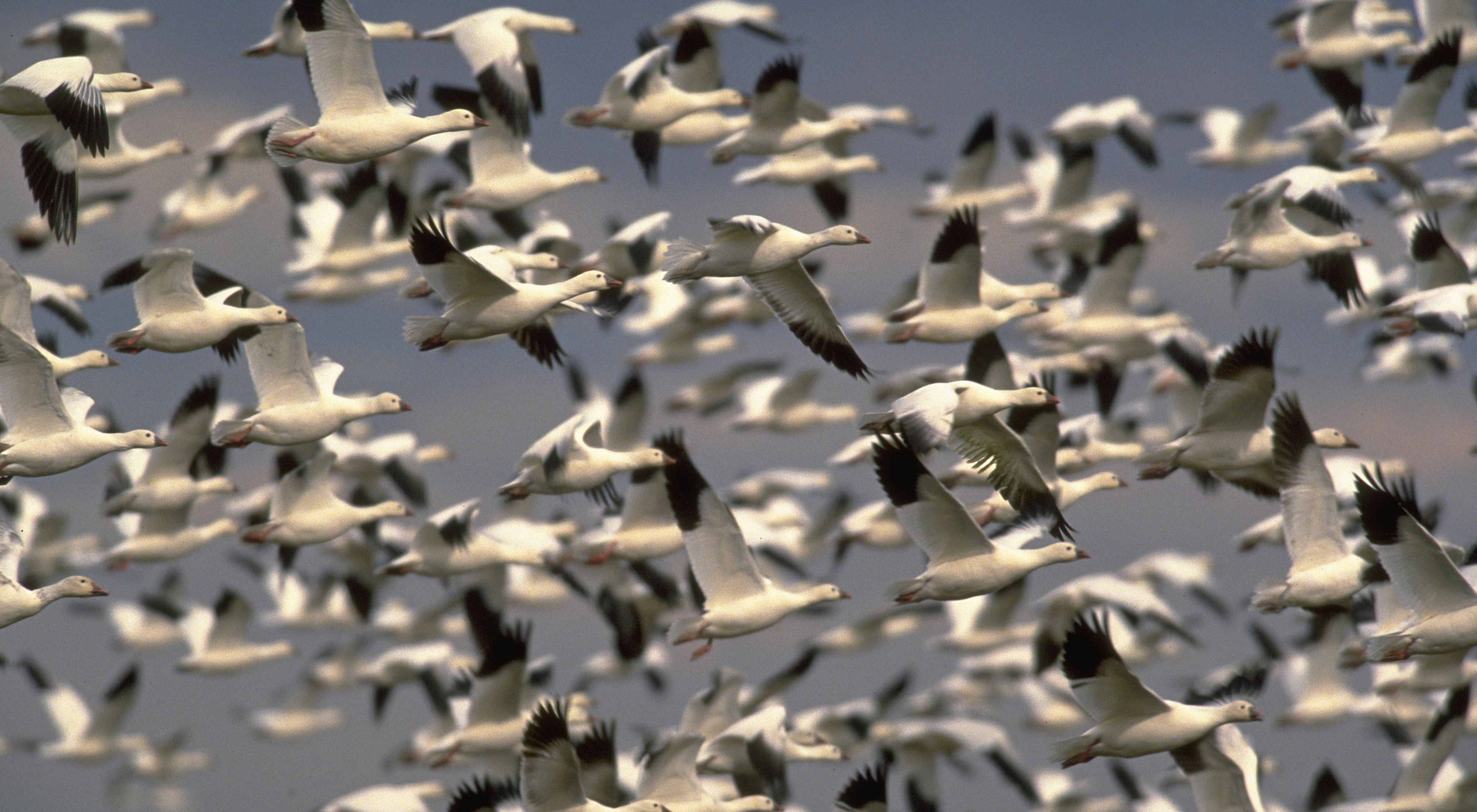 A flock of hundreds of snow geese fill the sky
