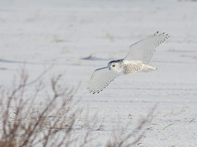 Large white bird flies low to the snowy ground.