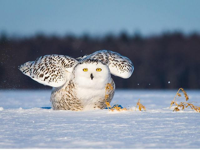 A white snowy owl with brown stripes on its feathers and yellow eyes sits in the snow with its wings partially outstretched.
