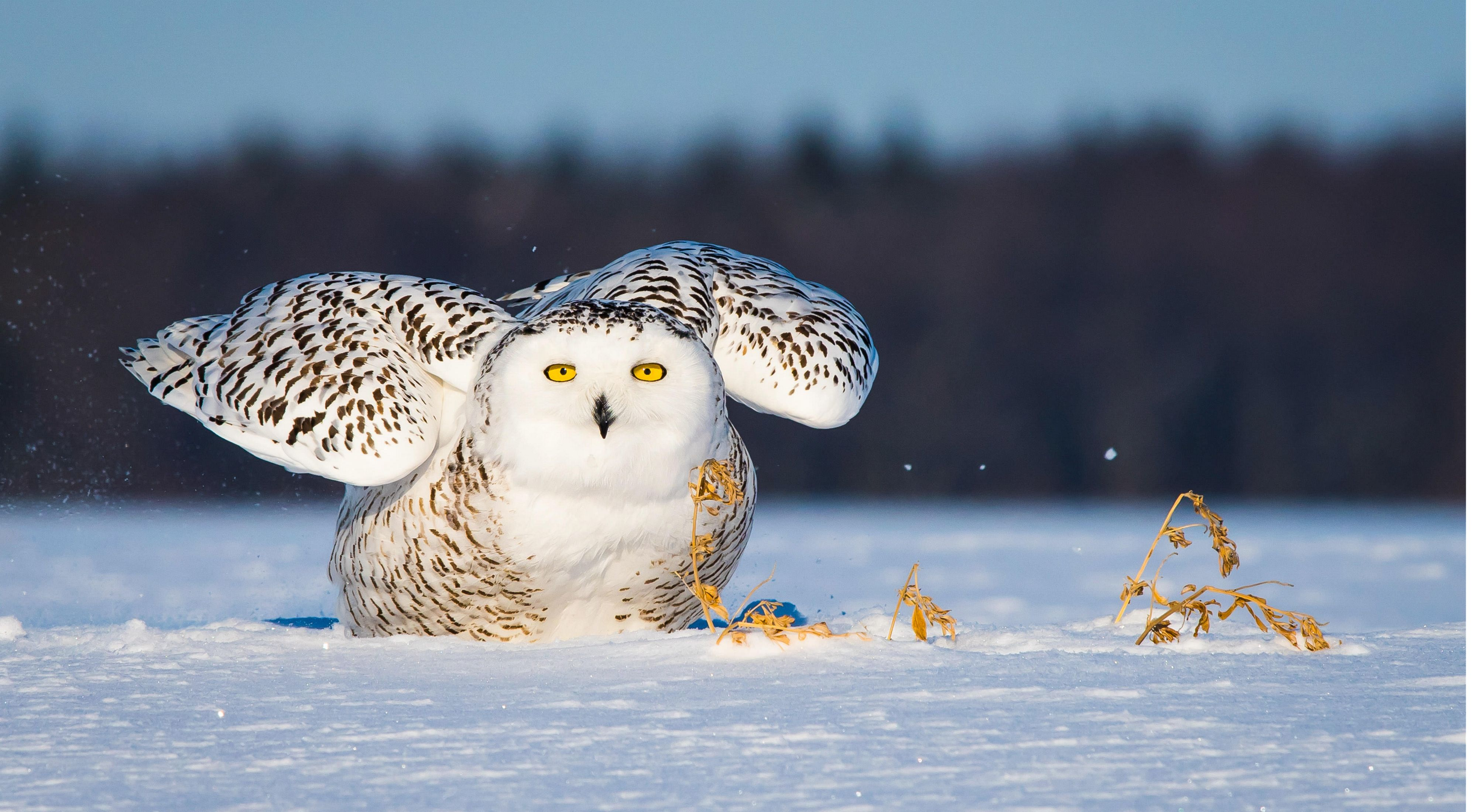 Close up of snowy owl looking at camera and sitting on the snow, with wings up and back