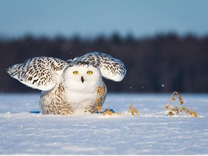 Snowy owl looking at camera, sitting on snow, wings up