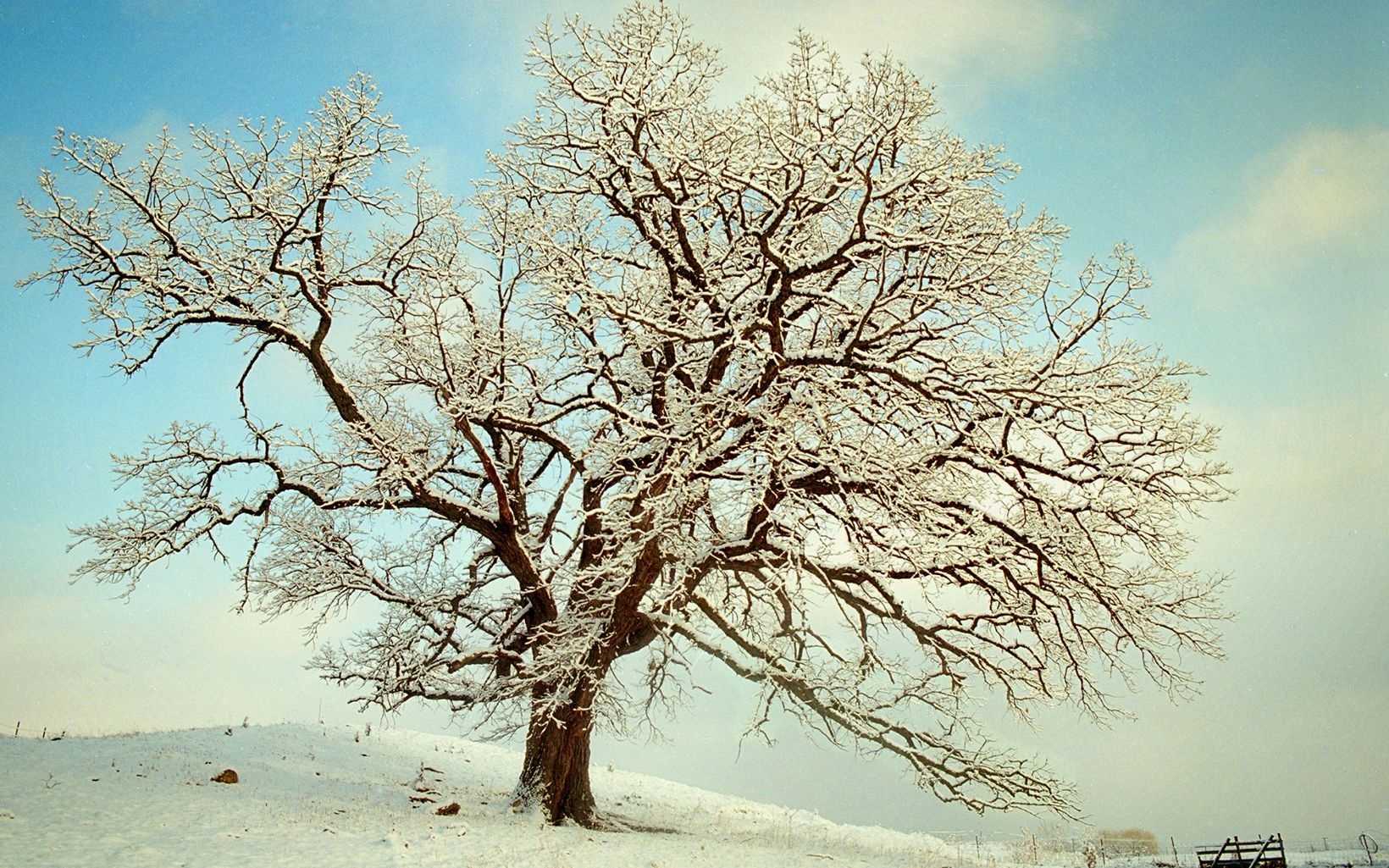 The wide-spreading branches of a large burr oak tree, standing on a small hill with blue sky overhead, are covered with snow.