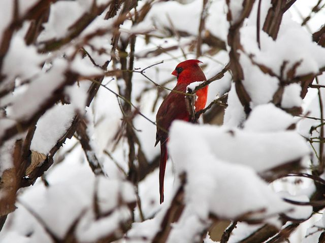 Cardinal sits in a snow covered tree.