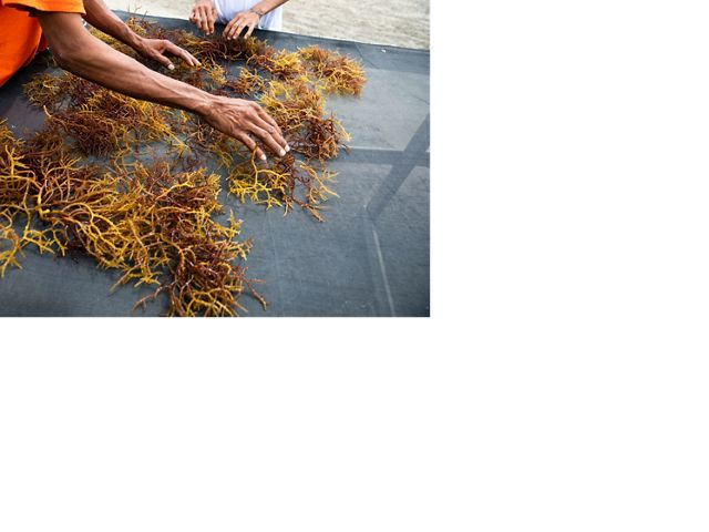 Two sets of hands sorting golden seaweed over a semi-transparent net