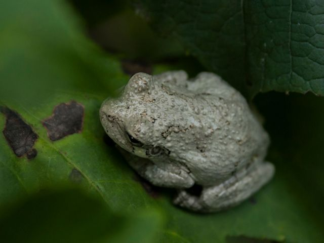 A small southern gray treefrog is sitting on a bright green leaf.
