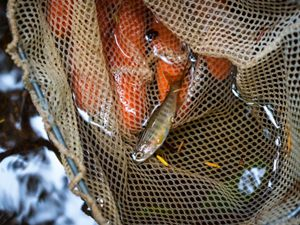 Salmon streams flowing through the Hoonah Native Forest serve as nurseries for growing salmon.