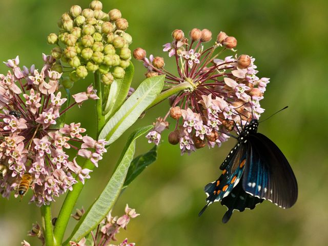 A spicebush swallowtail butterfly pollinating common milkweed flowers.