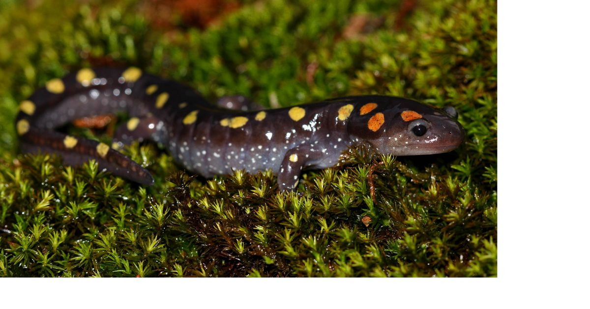 Spotted salamander crawling along the moss