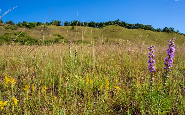 Close-up of purple and yellow prairie flowers and prairie grasses with an open bluff with cedar trees on the ridgetop and blue sky overhead.