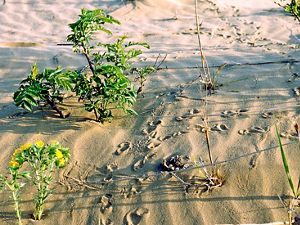 Turtle tracks in the sand at Spring Green Preserve