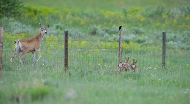 A doe and two fawns are separated by a fence.