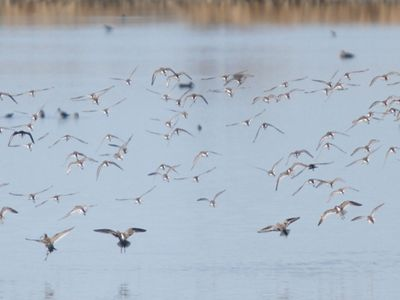 A flock of waterfowl at Stillwater Marsh in Nevada.