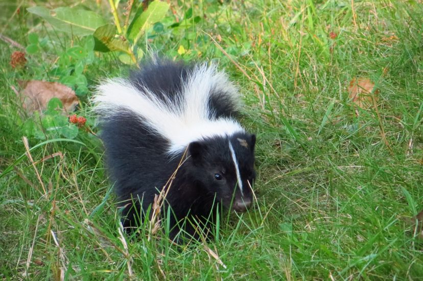 A striped skunk walking through green grass and clover.
