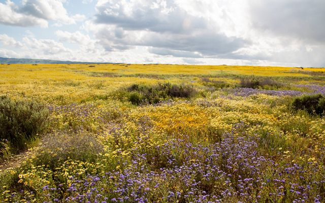 A wide-open plain with yellow and purple flowers.