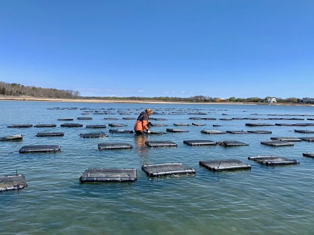Woman standing in ocean water surveying 20 or so oyster cages.