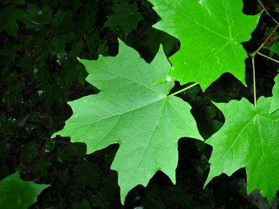 Up-close view of sugar maple leaves.
