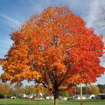 Sugar maple tree in fall foliage.