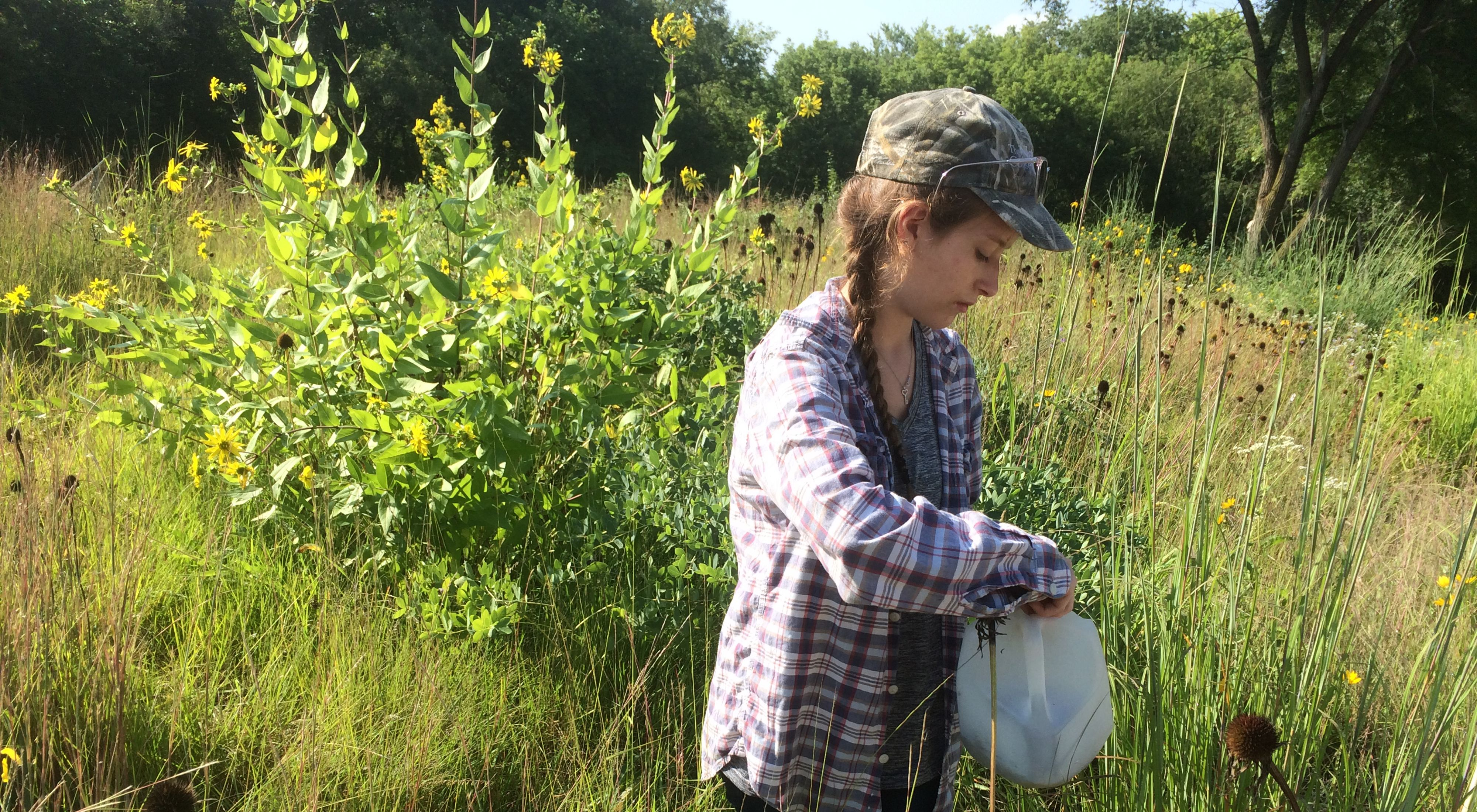 Young woman wearing cap and plaid shirt stands in a prairie and collects prairie grass seed and puts it into a while gallon milk jug.