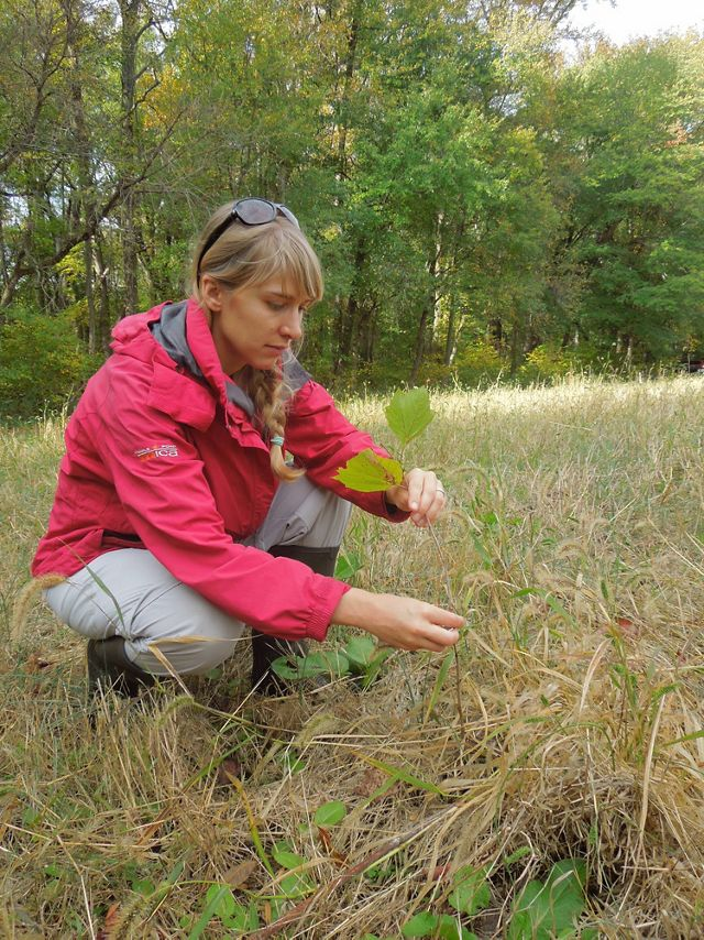 A woman wearing a red coat plants a sycamore seedling in a field.