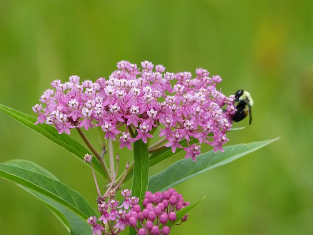 A black and yellow bee on a green plant with clustered pink flowers.