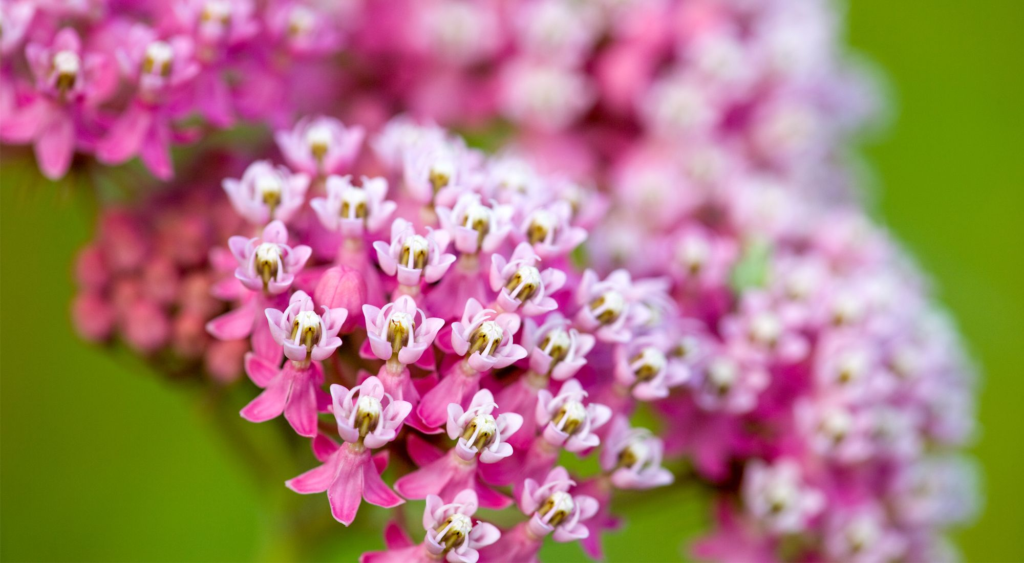 Close-up of hot pink and white blossoms of a milkweed plant