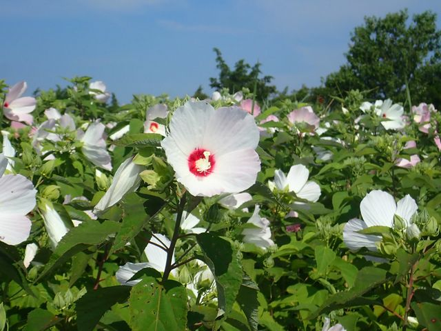Large white and pink mallow flowers are growing in a freshwater wetland.