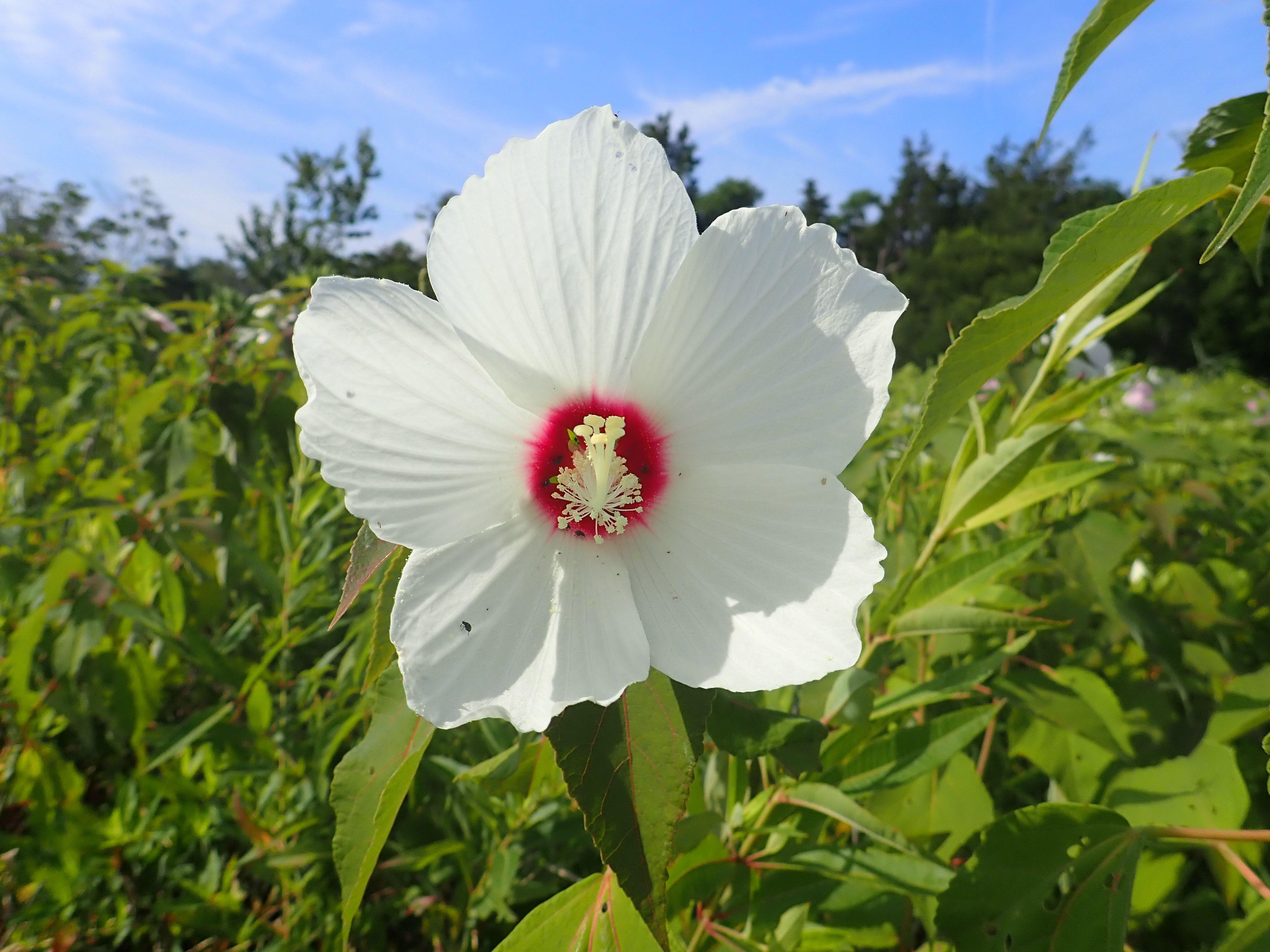 Large swamp rose mallow flower.