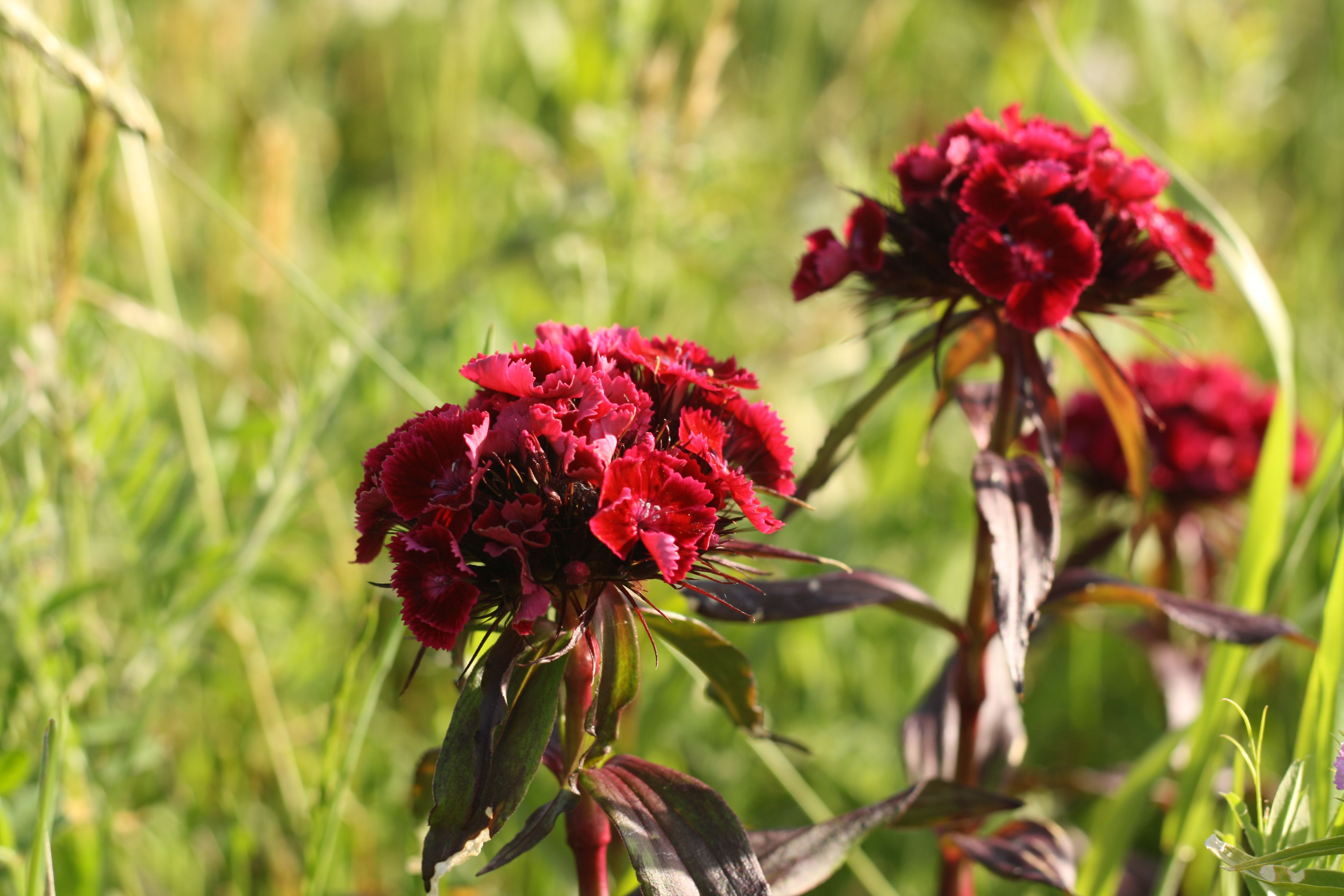 Deep red sweet William flowers are growing in a field.