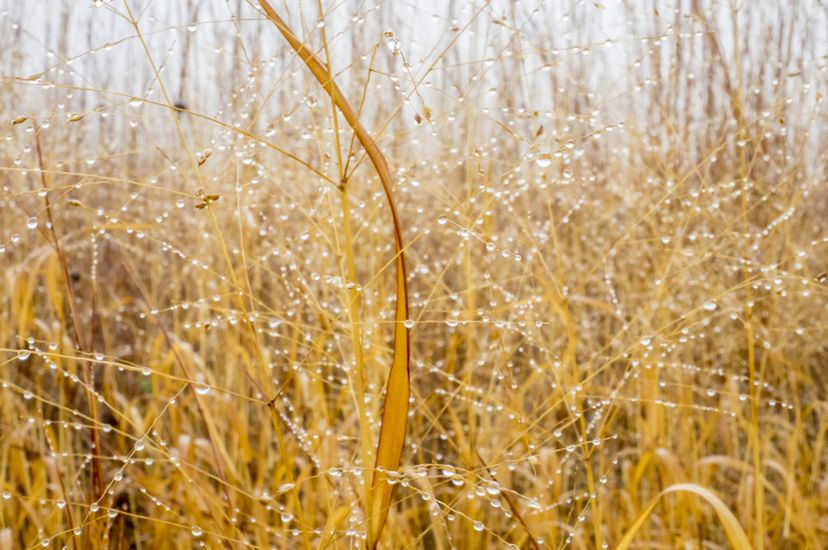 A stand of tall yellow grasses are dotted with rain drops after a storm.