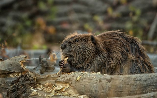 A female beaver and kit feed on tender shoots of willow near the lodge