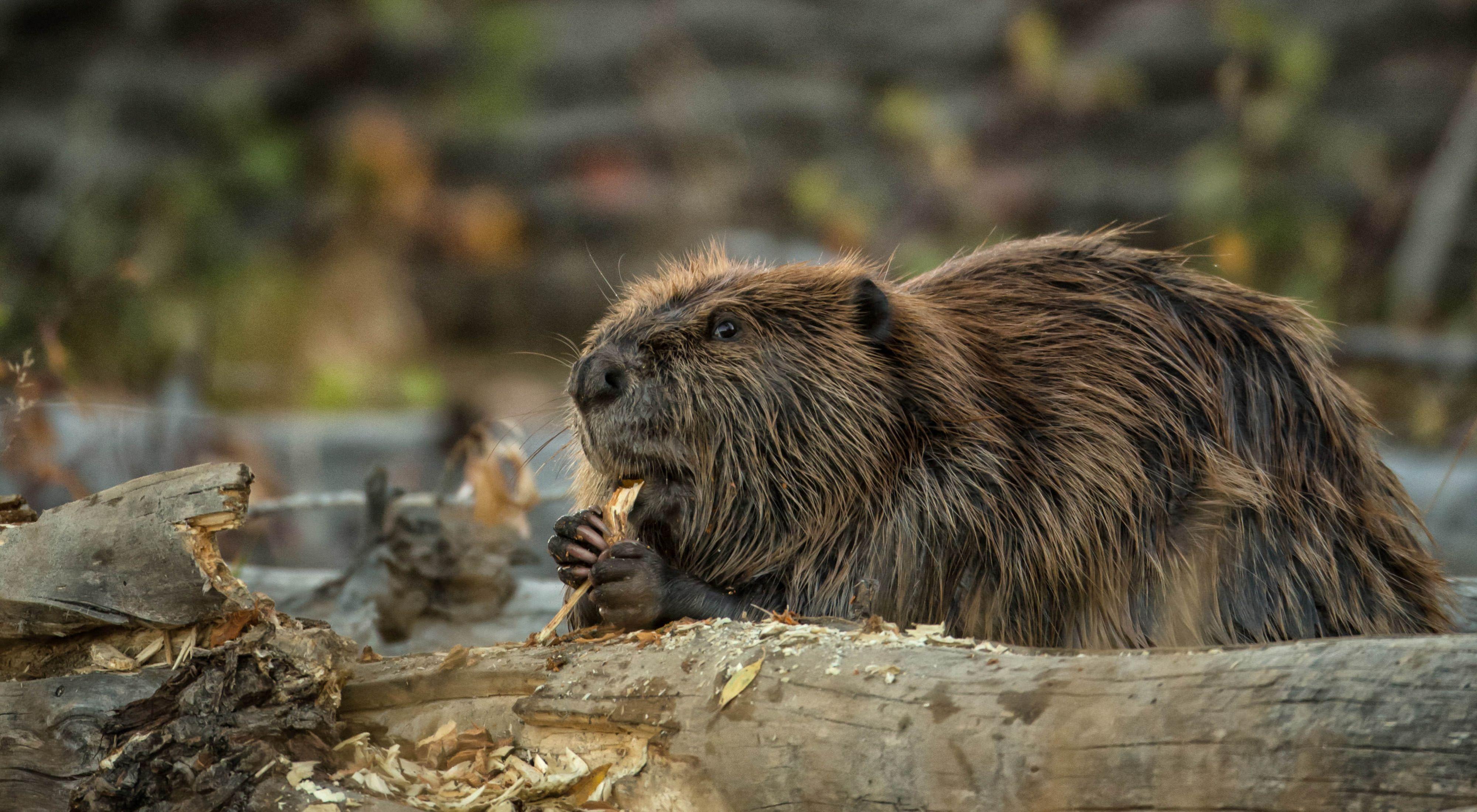 Beaver Mimicry 640 x 400