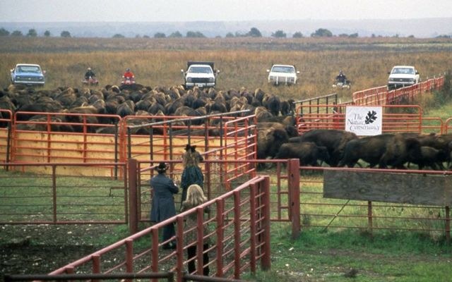 A large herd of bison heading out of fenced corrals with people looking on.