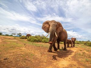 elephants walking through grasslands
