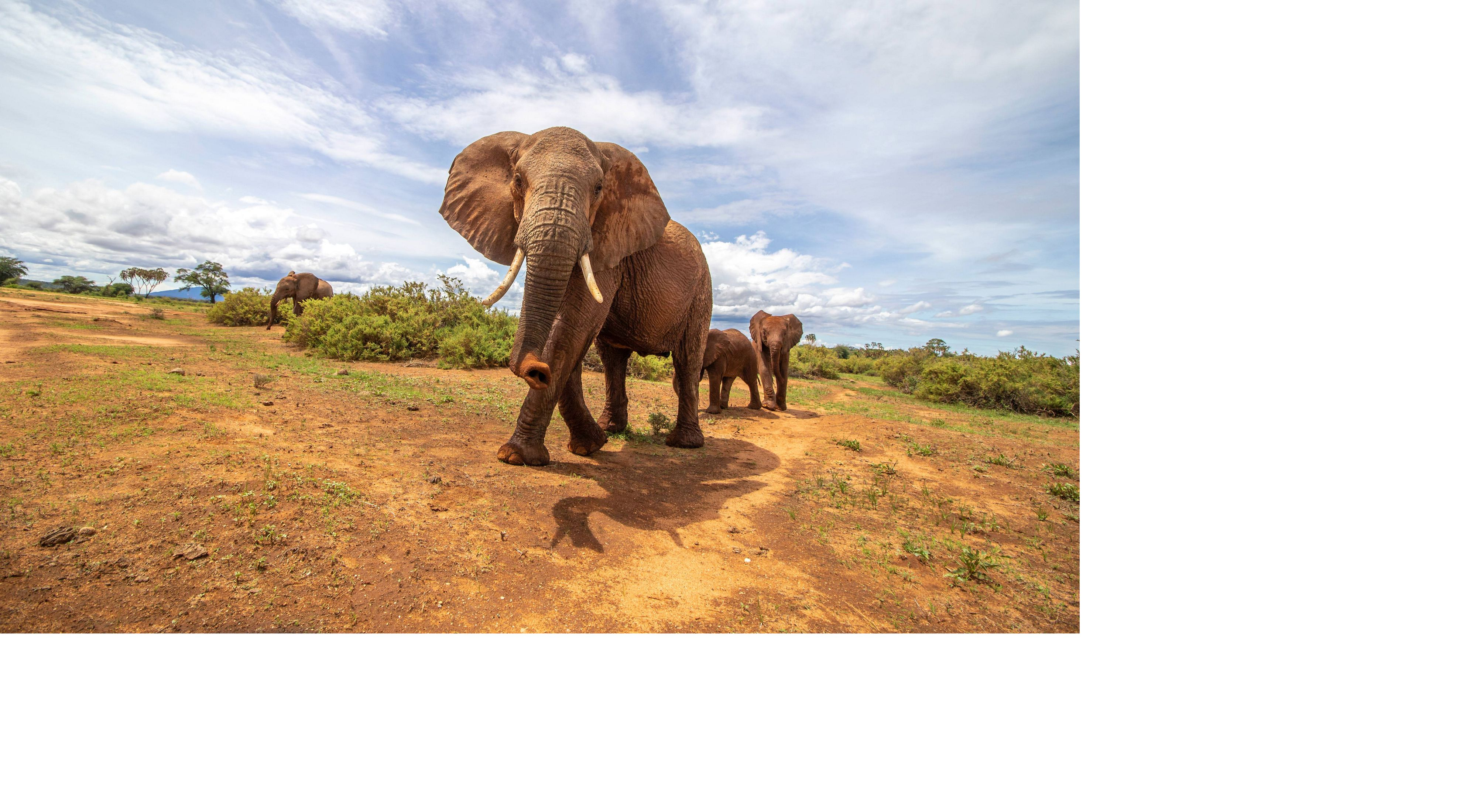 Elephants walk across grasslands