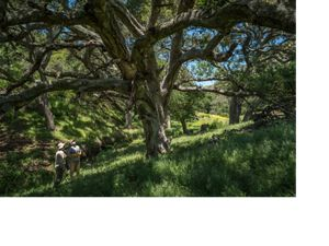 Two men look up at a coastal live oak