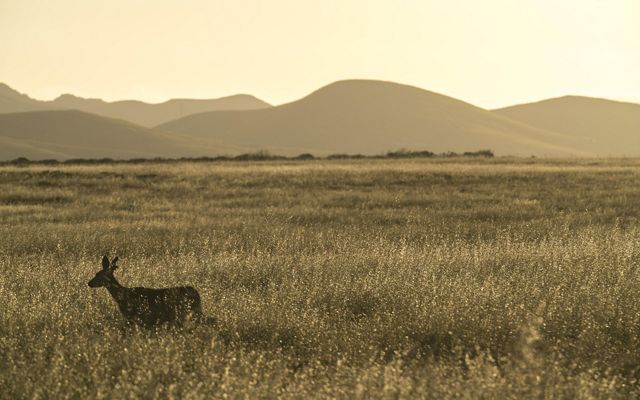 A deer roams across pasture in the early morning light. Looking east from pastures above Government Beach.