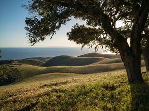 Live oaks frame rolling hills at Dangermond preserve