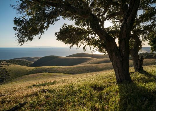 Coast oak woodlands along a ridge overlooking rolling hills that descend to the Pacific Ocean on the Dangermond Preserve.