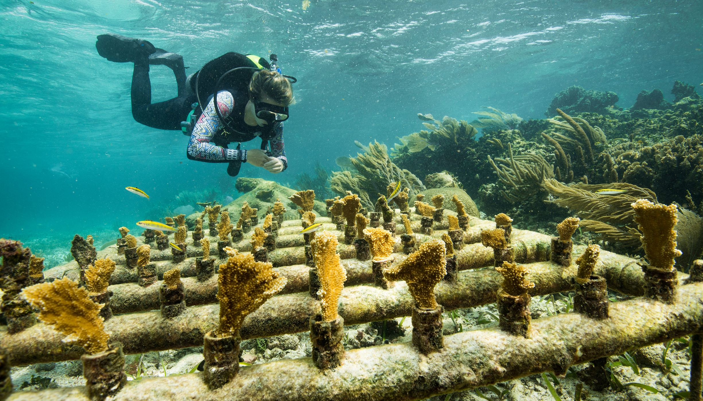 A diver swims near coral growing along a PVC pipe structure