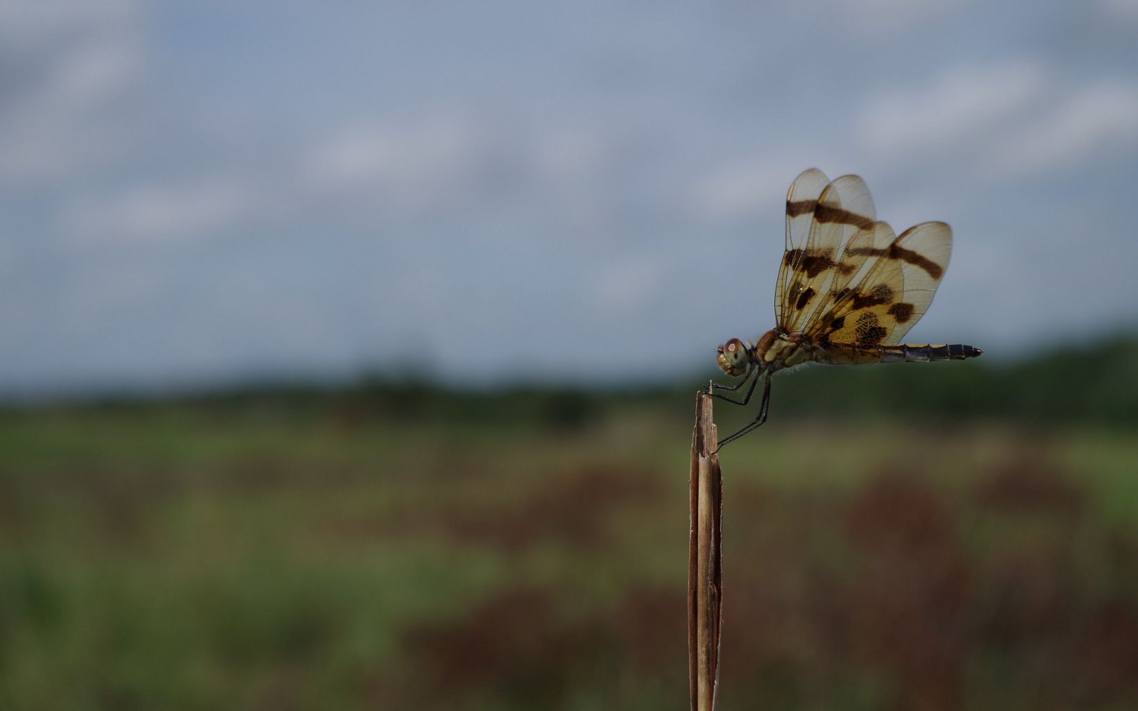 Dragonfly found in Land of the Swamp White Oak Preserve