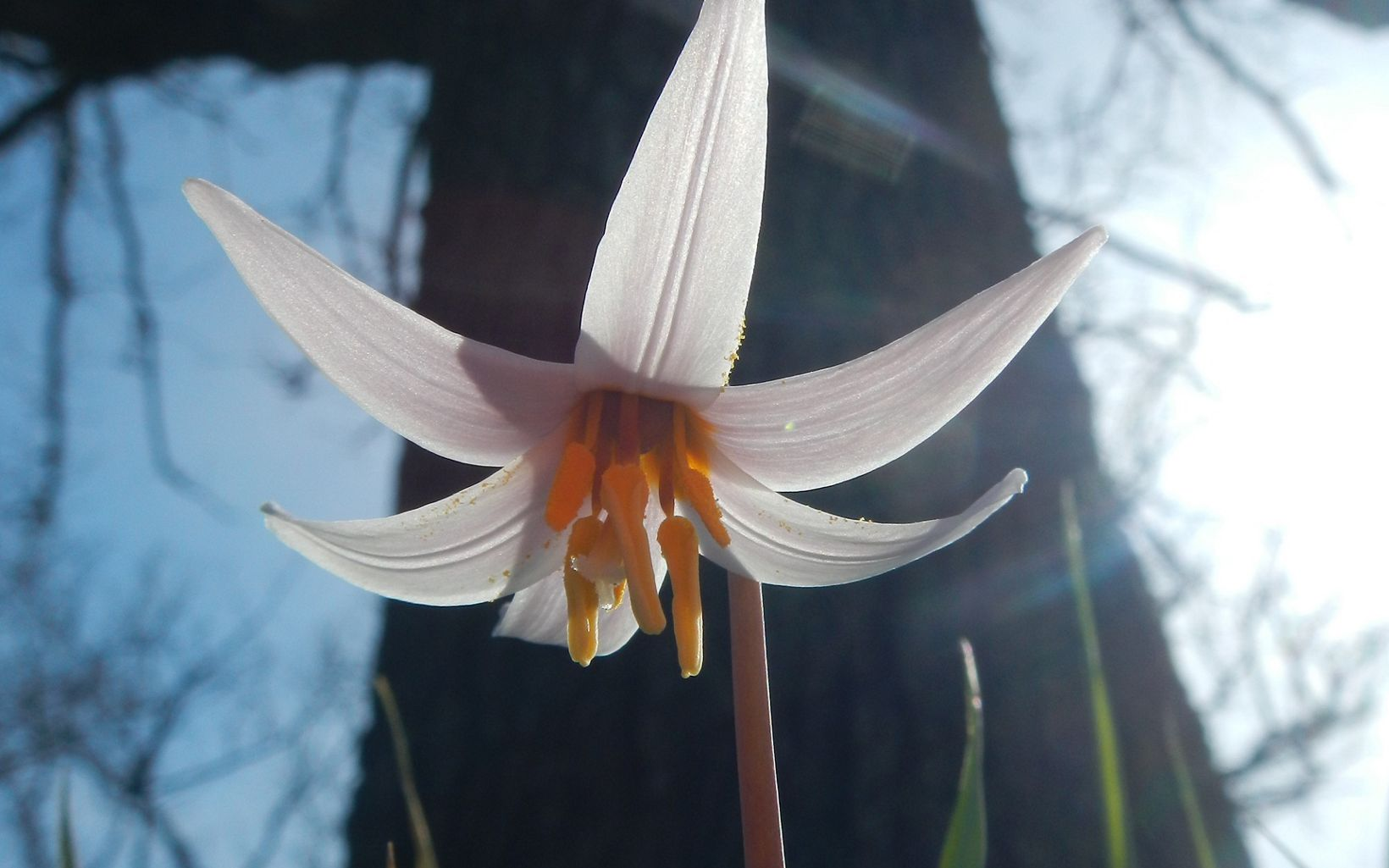 Ephemeral flower found in Land of the Swamp White Oak Preserve