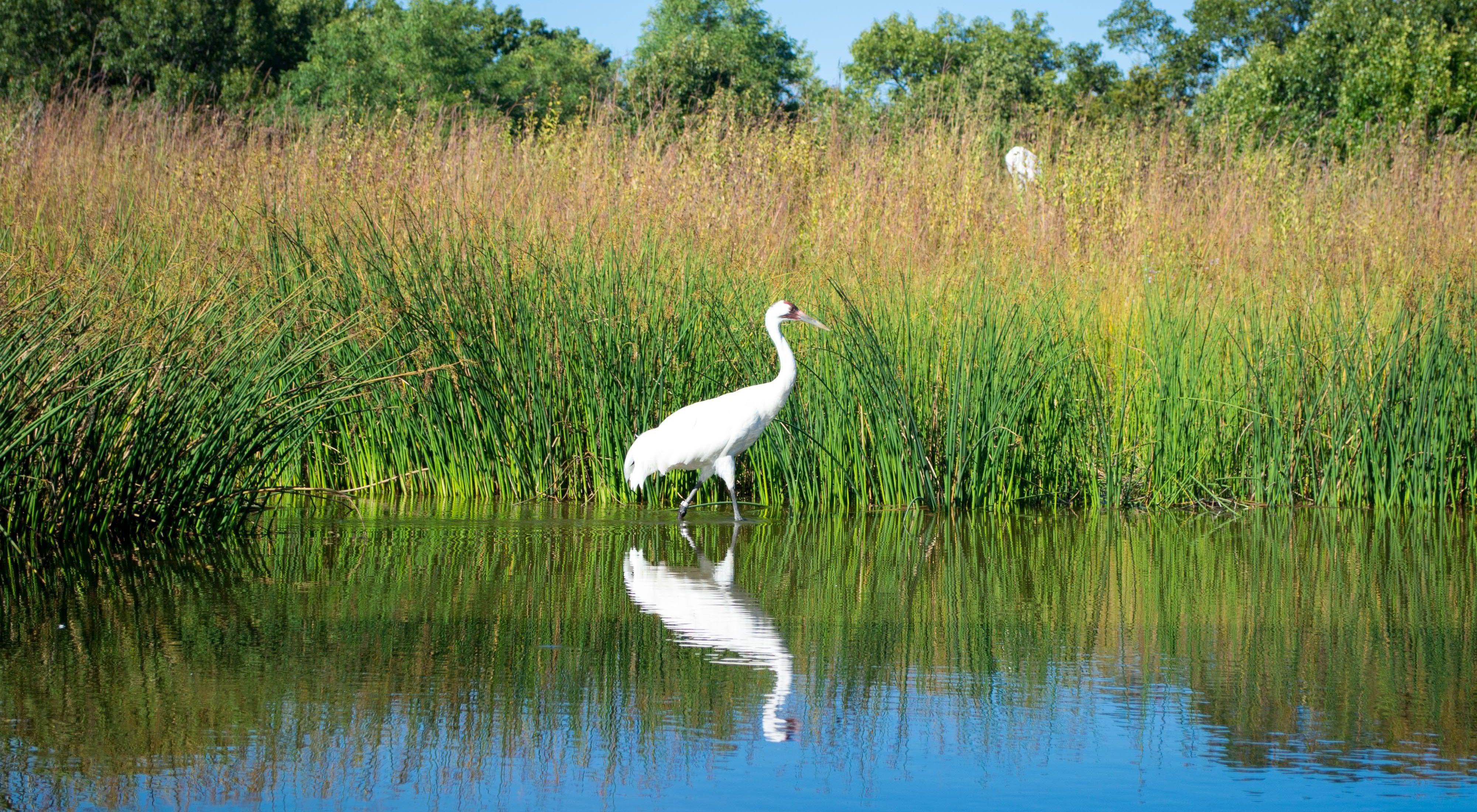 A whooping crane in the wetlands of Iowa.