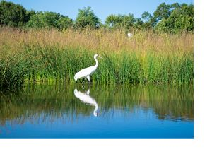 ALL RIGHTS. A whooping crane in the wetlands of Iowa.