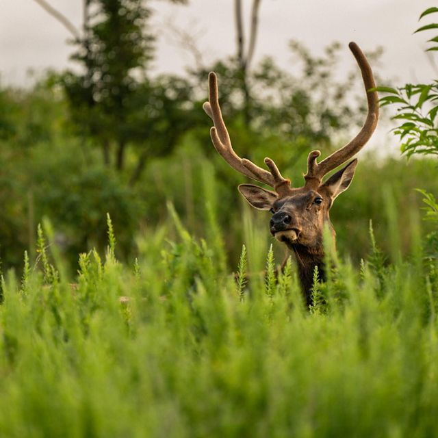 The head of a bull elk is visible above the tall, green grass. The elk's tall curved antlers are covered in soft velvet.