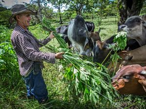 Silvopasture ranching in Colombia