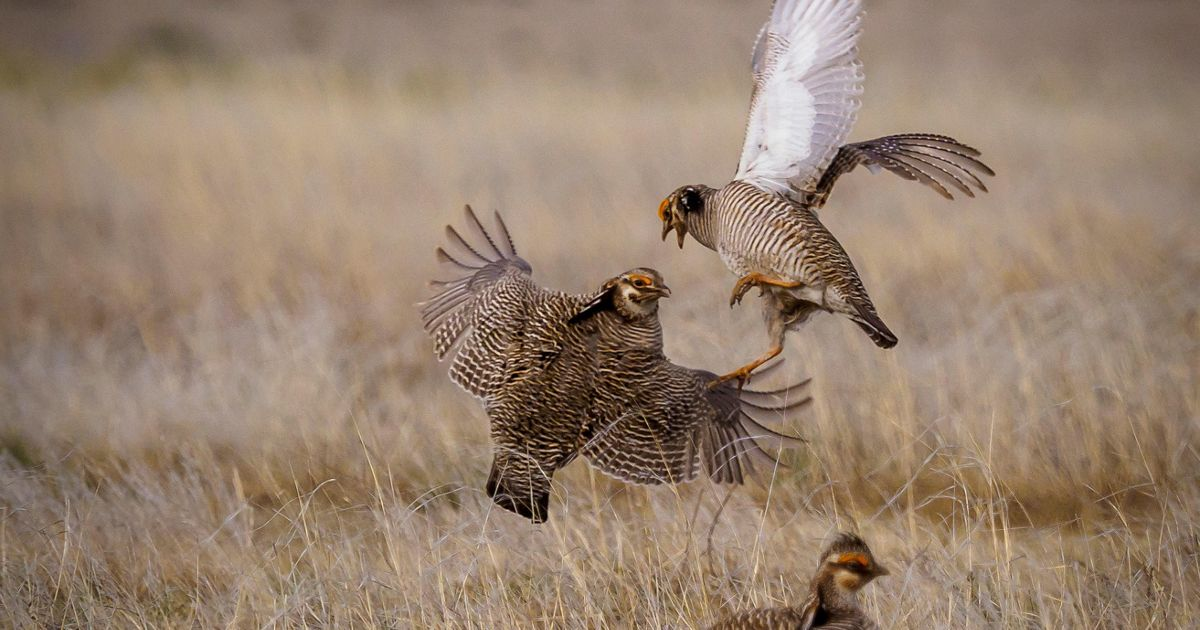 Prairie Chickens during their spring mating rituals on a lek in the Little Jerusalem area of Smoky Valley Ranch, Kansas. April, 2018.