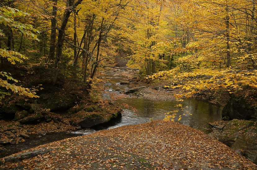 Photo of a forested stream in brilliant fall foliage colors of yellow and orange.
