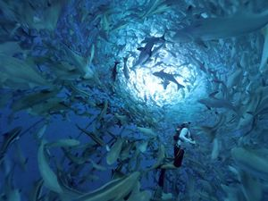 A man swims inside a floating net pen filled with fish.